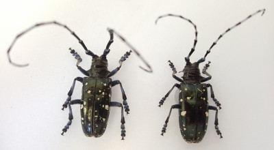alb_adults_pinned_specimens